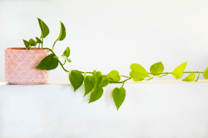 Hard-to-Kill Houseplants: Philodendron Trail
