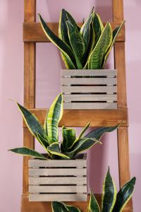 Hard-to-Kill Houseplants: Snake Plant on Ladder