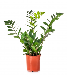 Potted ZZ Plant